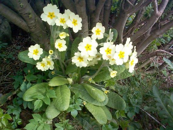 Pretty yellow primrose flowers