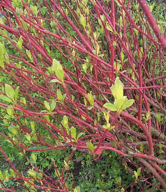 Close up of red branches