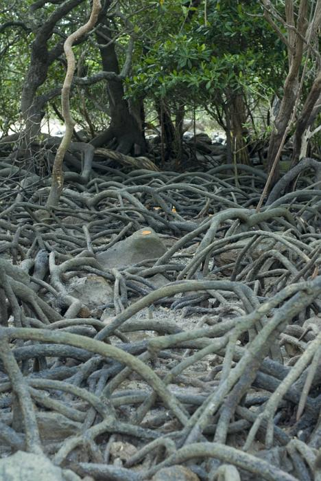 Thick tangle of mangrove roots