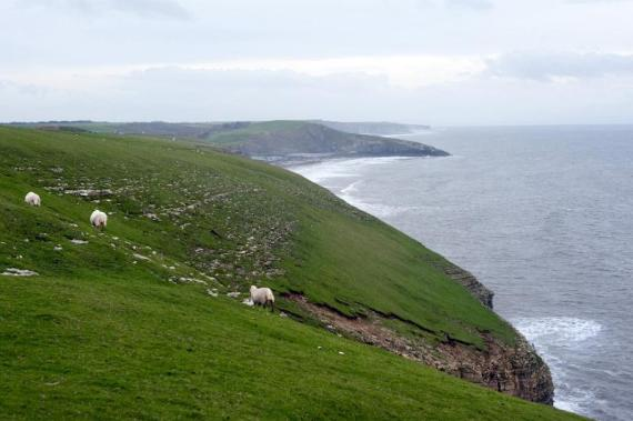 View along a scenic coastline of a flock of sheep grazing in a coastal pasture above steep rocky cliffs overlooking the ocean