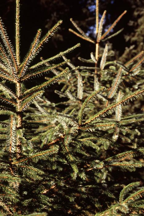 Detail of Young Evergreen Tree Tops